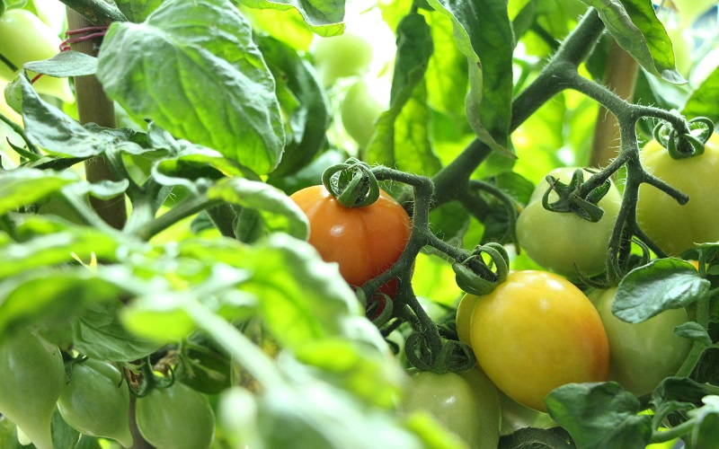 grow tomatoes inside apartment